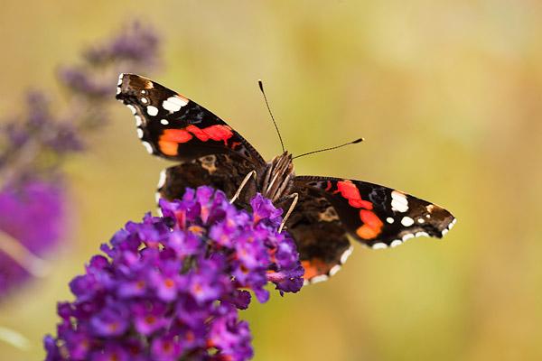 Atalanta (Vanessa atalanta) op vlinderstruik
