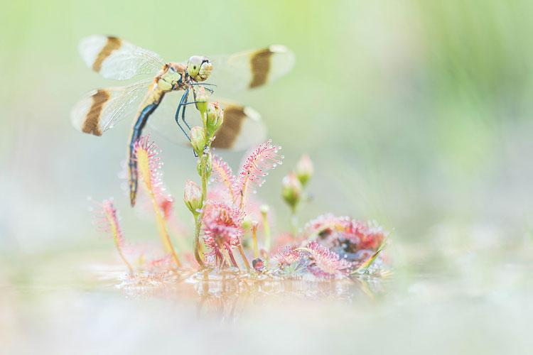 Bandheidelibel (Sympetrum pedemontanum) vrouwtje gevangen in zonnedauw