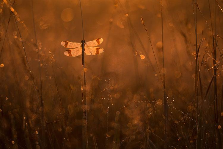 Bedauwde bandheidelibel (Sympetrum pedemontanum) tussen grassen in tegenlicht
