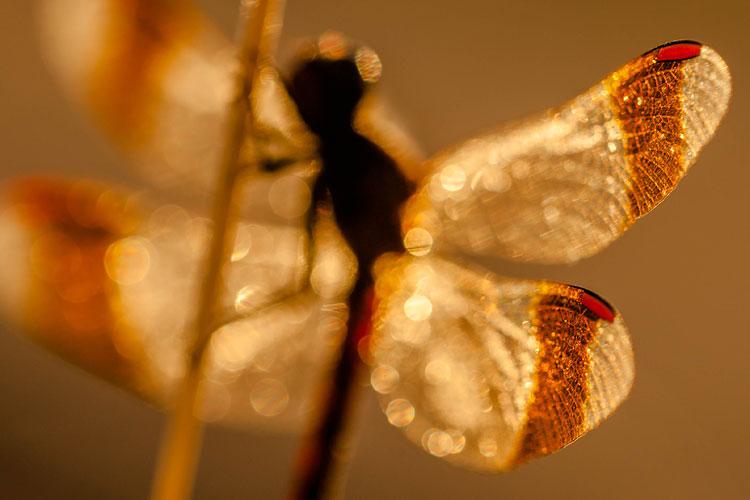 Abstract beeld van een bandheidelibel (Sympetrum pedemontanum)