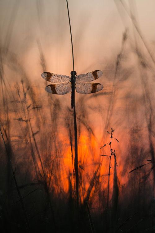 Bandheidelibel (Sympetrum pedemontanum) met de opkomende zon