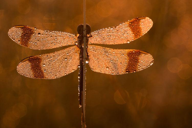 Bandheidelibel (Sympetrum pedemontanum) voor de opkomende zon