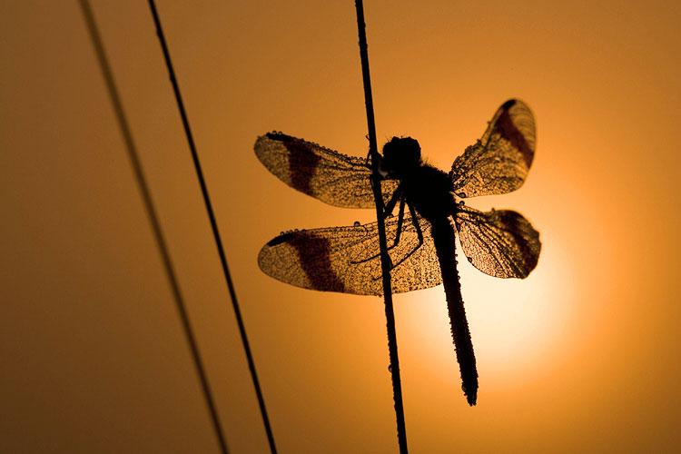 Bandheidelibel (Sympetrum pedemontanum) silhouet