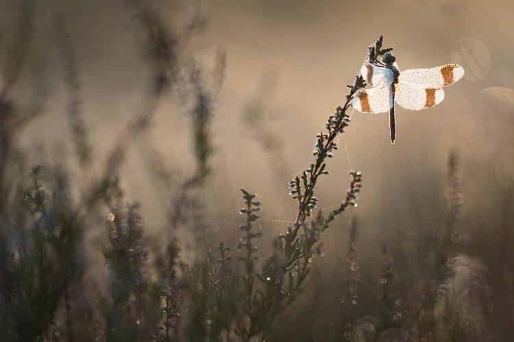 Bandheidelibel (Sympetrum pedemontanum) in struikheide en warm, stemmig licht