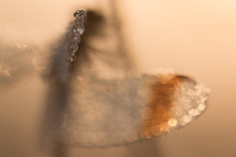 Mannetje bandheidelibel (Sympetrum pedemontanum) in pittig tegenlicht