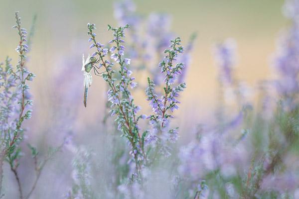 Bandheidelibel in de bloeiende heide