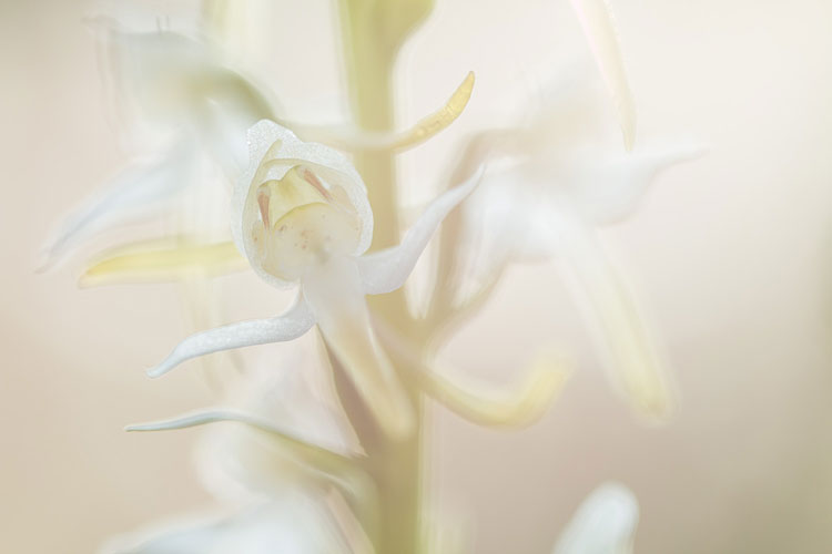 Close-up van een Bergnachtorchis (Platanthera chlorantha)