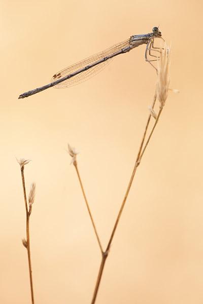 Berijpte breedscheenjuffer (Platycnemis kervillei)