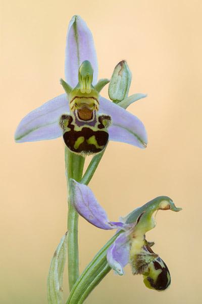 Bijenorchis (Ophrys apifera)