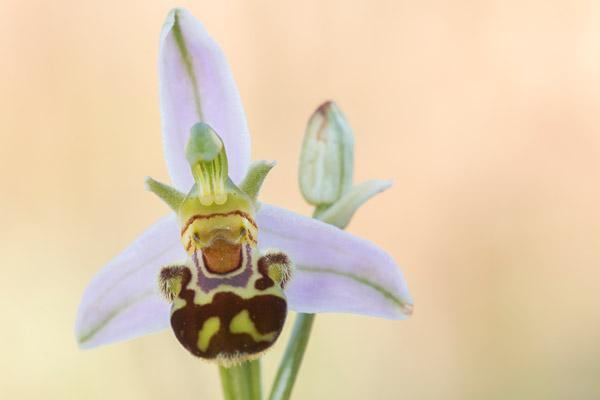 Bijenorchis (Ophrys apifera) close-up