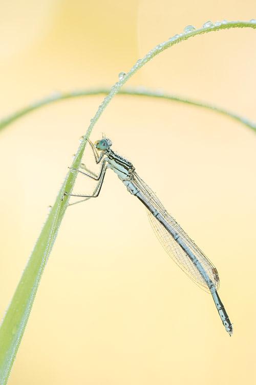 Vrouwtje Blauwe breedscheenjuffer (Platycnemis pennipes)