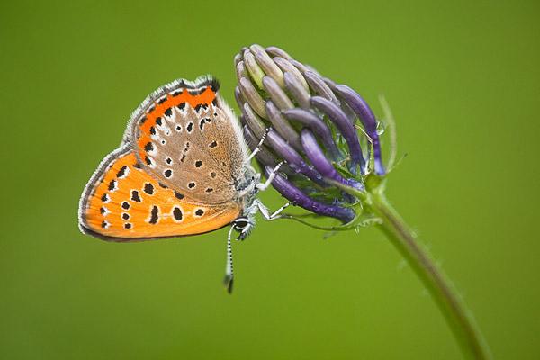 Blauwe vuurvlinder (Lycaena helle)