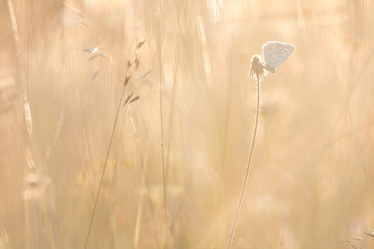 Bleek blauwtje (Polyommatus coridon) in gouden licht