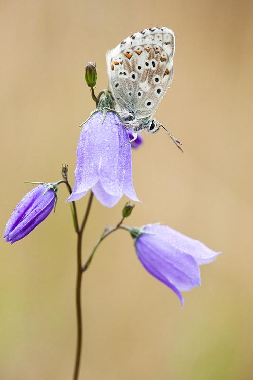 Bleek blauwtje (Polyommatus coridon) op grasklokje