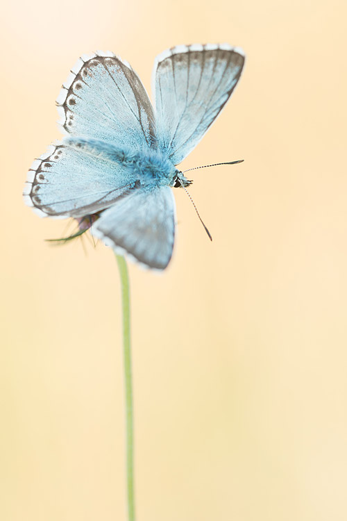 Bleek blauwtje (Polyommatus coridon) van de bovenzeide