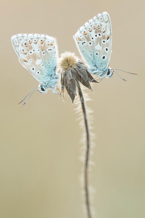 Bleke blauwtjes in de schaduw