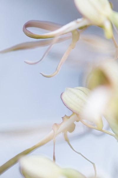 Bokkenorchis (Himantoglossum hircinum) abstract