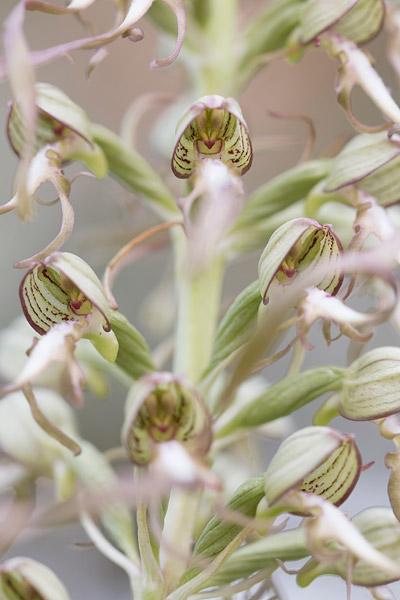 Bokkenorchis (Himantoglossum hircinum) close-up