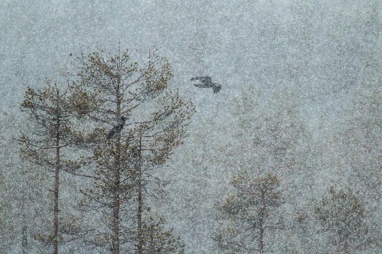 Bonte kraai in sneeuwstorm