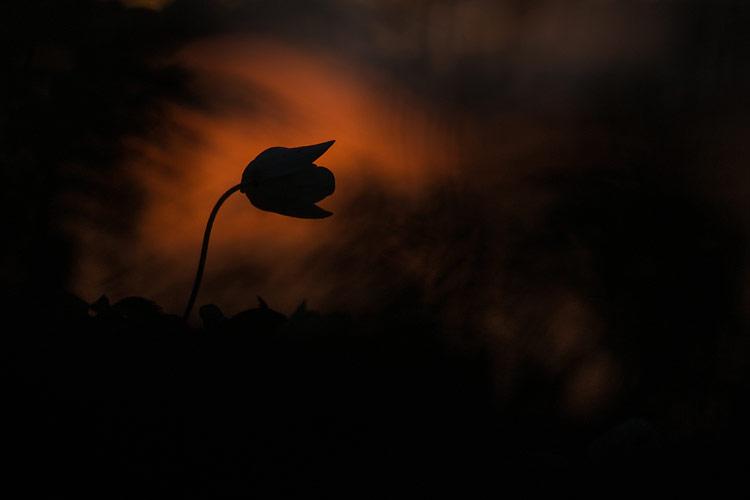 Silhouet van een gesloten Bosanemoon (Anemone nemorosa)