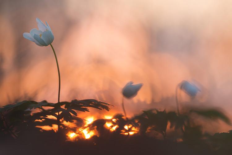 Bosanemoon tijdens zonsondergang