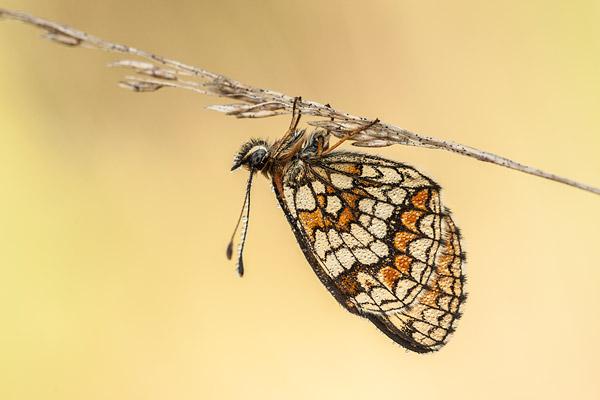 Slapende bosparelmoervlinder (Melitaea athalia) onder de dauw