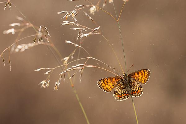 Bosparelmoervlinder (Melitaea athalia) met gespreidde vleugels en tegenlicht