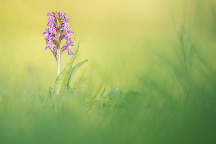 Brede orchis (Dactylorhiza majalis) in natuurlijke omlijsting van groen