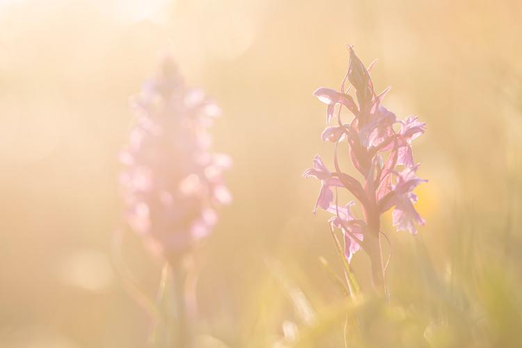 Brede orchissen in tegenlicht