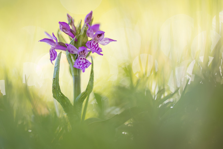 Brede orchis (Dactylorhiza majalis)