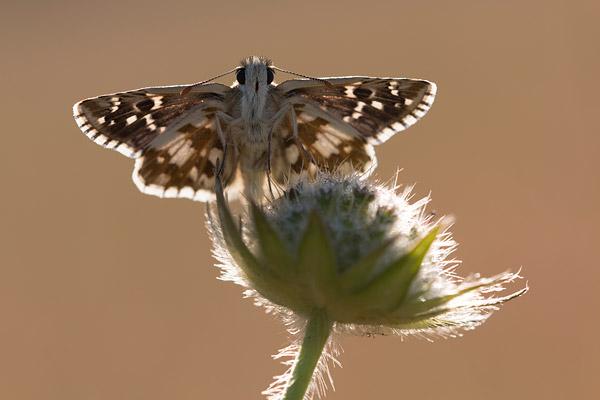 Bretons spikkeldikkopje (Pyrgus armoricanus) warmt op in het eerste zonlicht