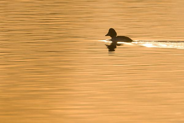 Bruilduiker man (Bucephala clangula) bij zonsondergang.