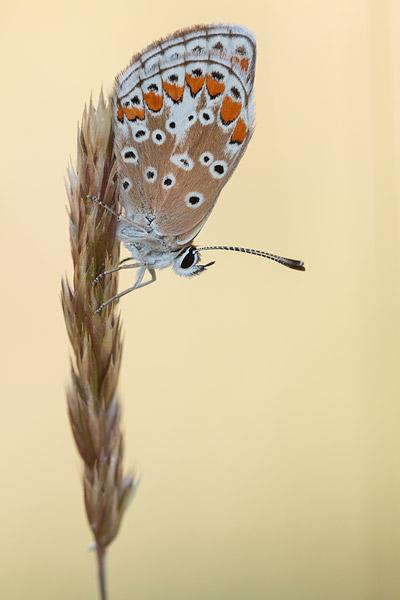 Bruin blauwtje (Aricia agestis)
