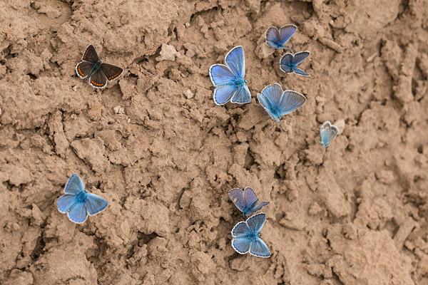 Bruin blauwtje in drinkgezelschap van esparcette en icarusblauwtjes