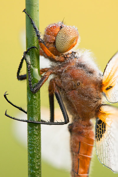 Bruine korenbout (Libellula fulva) man
