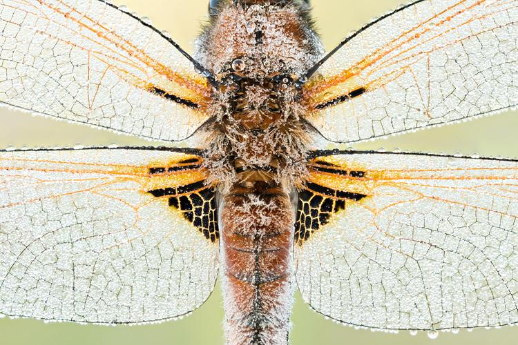 Close-up van een bruine korenbout (Libellula fulva)