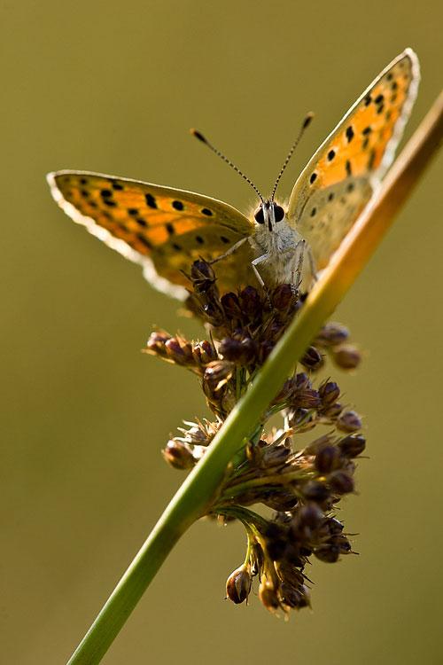 Bruine vuurvlinder (Lycaena tityrus)