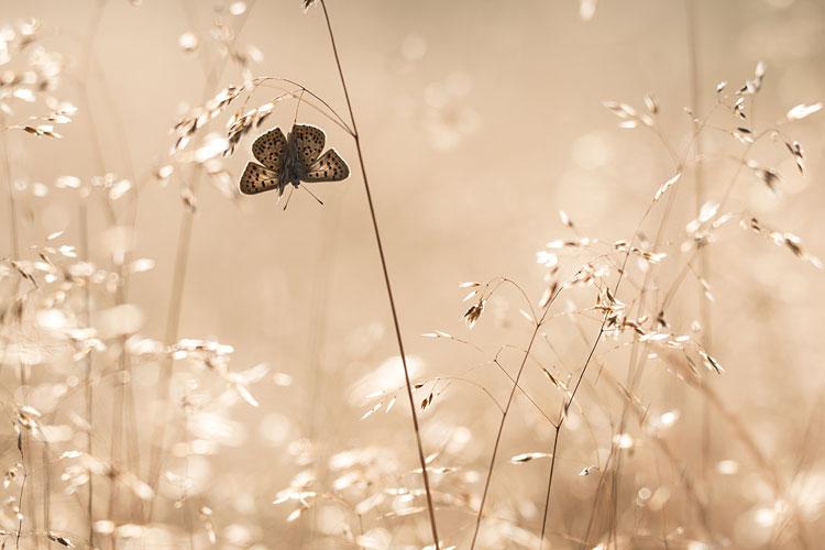 Bruine vuurvlinder (Lycaena tityrus) in bochtige smele en tegenlicht