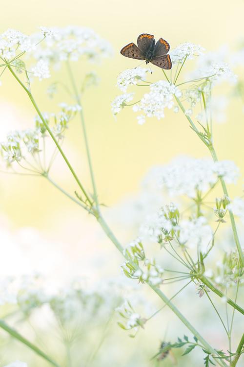 Vers mannetje bruine vuurvlinder (Lycaena tityrus) op fluitenkruid