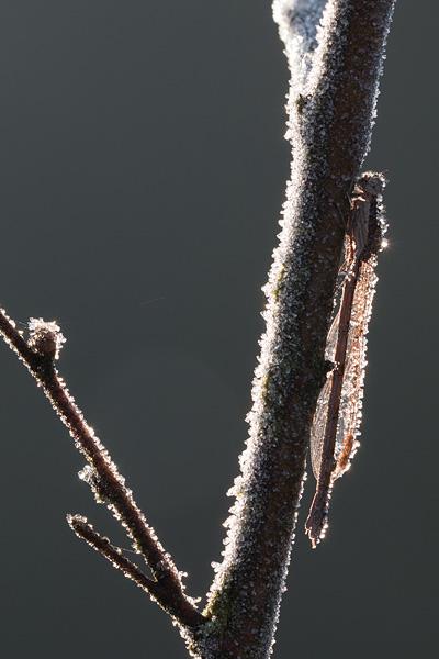 Berijpte bruine winterjuffer (Sympecma fusca)