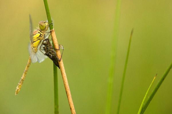 Bruinrode heidelibel (Sympetrum striolatum).