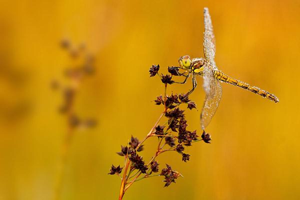 Bruinrode heidelibel met bokeh