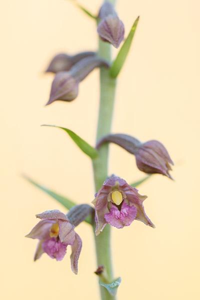 Bruinrode wespenorchis (Epipactis atrorubens)