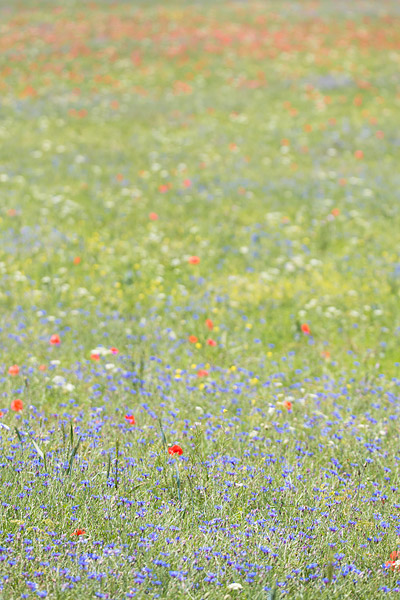 Bloemenveld op de causse Mejean