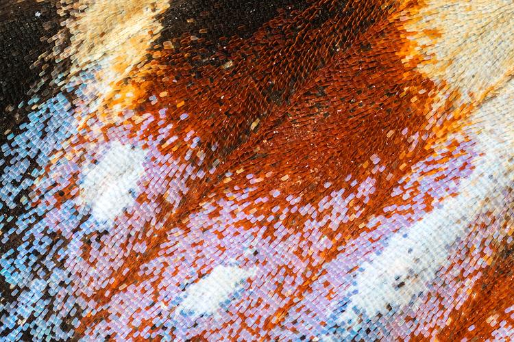 Extreme close-up van de vleugel van een Dagpauwoog (Aglais io)