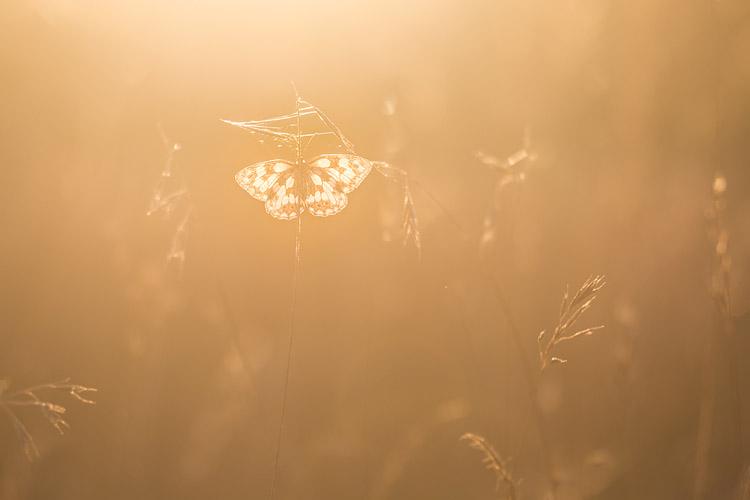 Dambordje (Melanargia galathea) vangt het laatste licht tijdens een prachtige zonsondergang