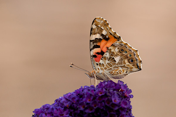 Distelvlinder (Vanessa cardui) op vlinderstruik