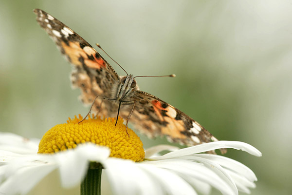 Distelvlinder (Vanessa cardui) op margriet