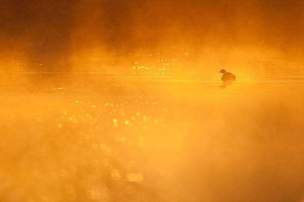 Dodaars in vroege ochtendmist en magisch licht