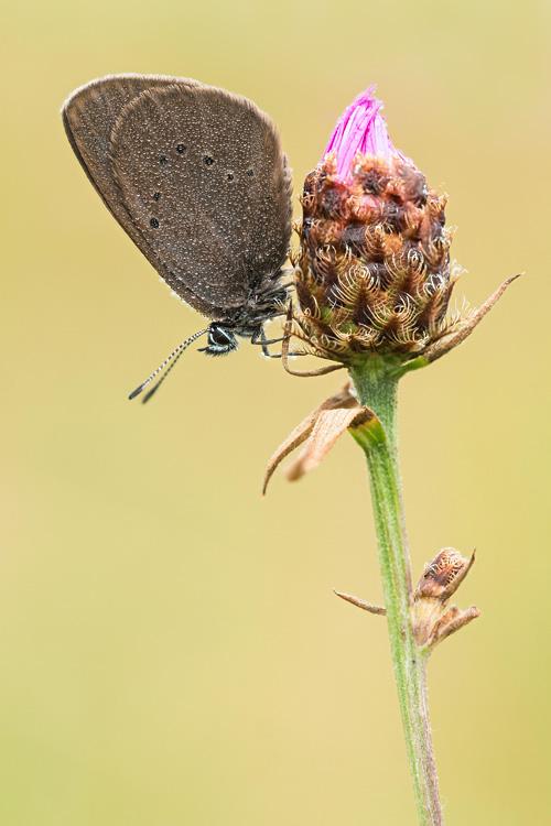 Donker pimpernelblauwtje (Phengaris nausithous)